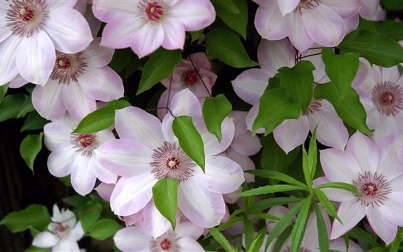 Fondos de pantalla Flores de clemátide rosa claro