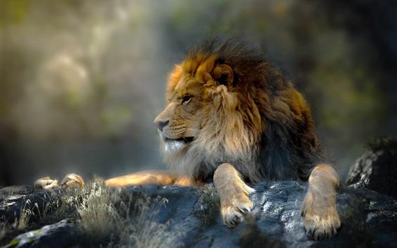 Fond d'écran Lion, prédateur, herbe, pierres
