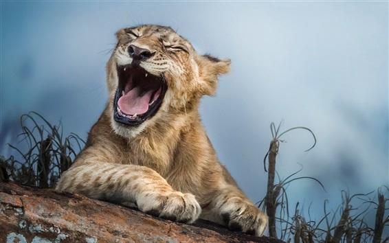 Fondos de pantalla León bostezo, primer plano de los animales