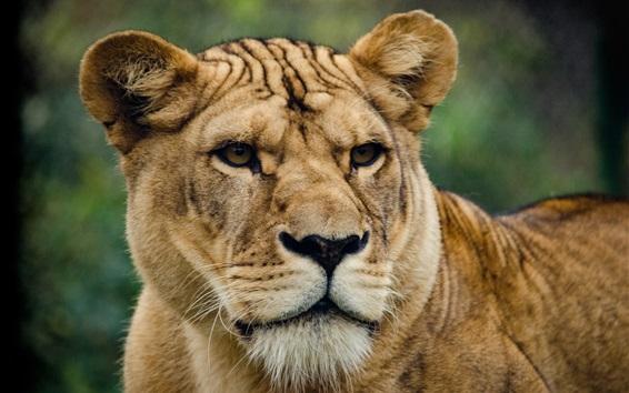 Wallpaper Lioness, look, face, predator