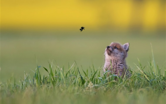 壁纸 小狐狸看着飞行大黄蜂