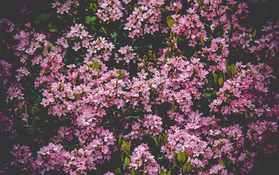 Wallpaper Many pink lilac flowers bloom, spring