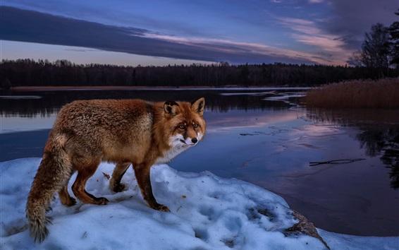 Papéis de Parede Noite, raposa, rio, neve, inverno