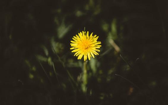 Обои Один желтый цветок одуванчика