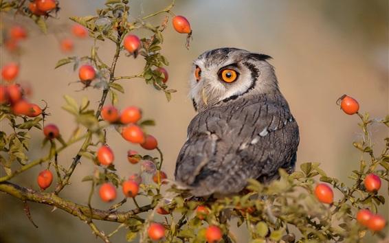 Wallpaper Owl look back, red berries