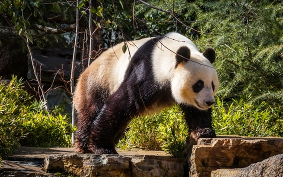 Papéis de Parede Caminhada de panda, arbustos