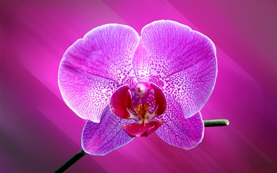 Wallpaper Phalaenopsis, one purple flower macro photography