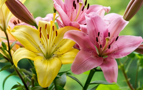 Wallpaper Pink and yellow lily flowers