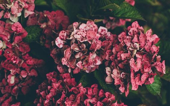 Wallpaper Pink hydrangea, spots