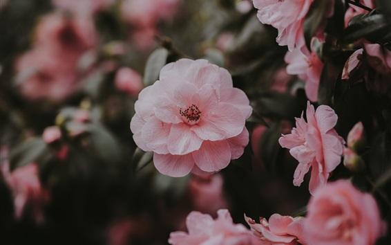 Wallpaper Pink wild roses