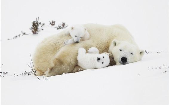 Papéis de Parede Ursos polares, filhotes, dormir na neve