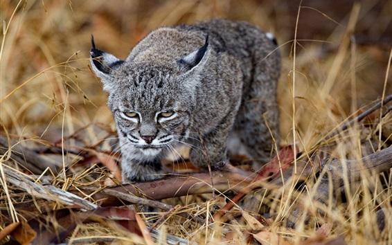 Papéis de Parede Predador, vista frontal do lince, olhar, grama
