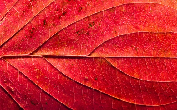 Wallpaper Red leaf macro photography, texture