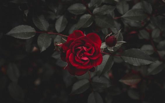 壁纸 红玫瑰,黑暗
