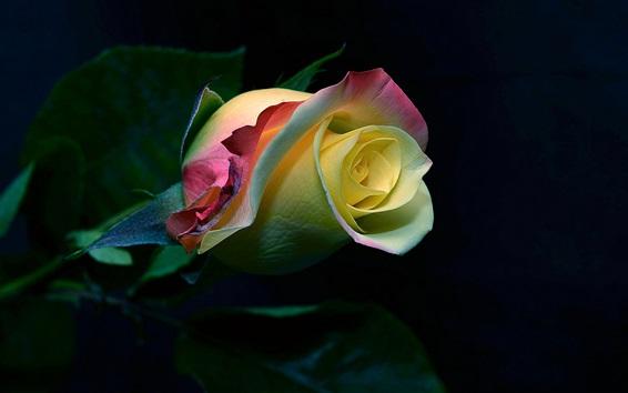 Wallpaper Rose flower bud, colorful petals