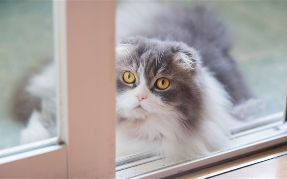 Wallpaper Scottish fold kitten, yellow eyes, window