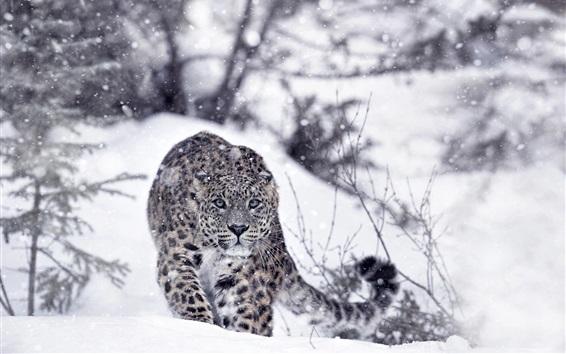 Papéis de Parede Leopardo da neve, neve, inverno, declive