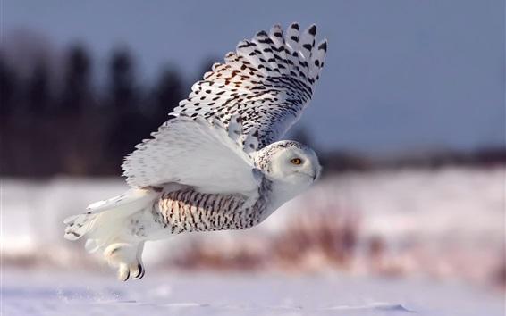 Fond d'écran Harfang des neiges, vol, ailes, yeux