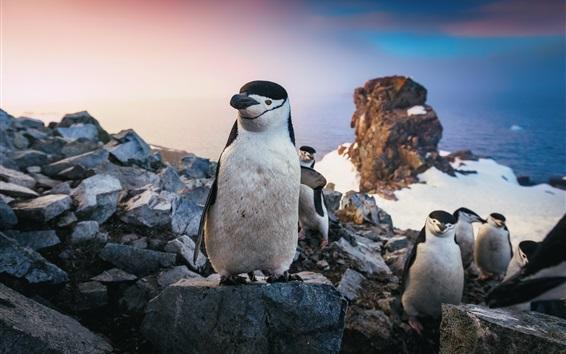 Papéis de Parede Alguns pinguins, neve, pedras, mar