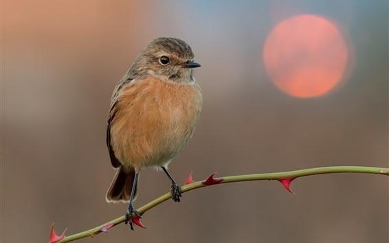 Fond d'écran Sparrow, brindille, coucher de soleil