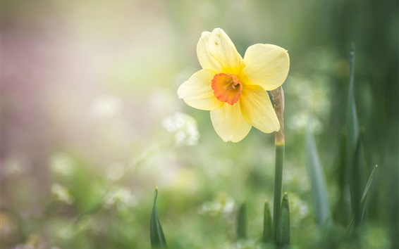 Wallpaper Spring, single yellow narcissus flower