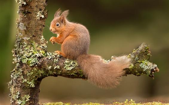 Papéis de Parede Esquilo, árvore