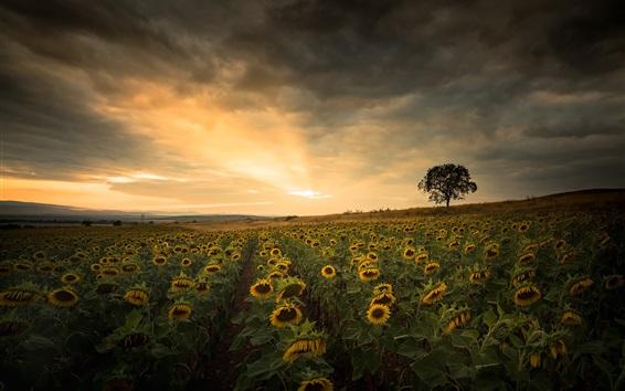 Papéis de Parede Verão, campo de girassóis, árvore, pôr do sol