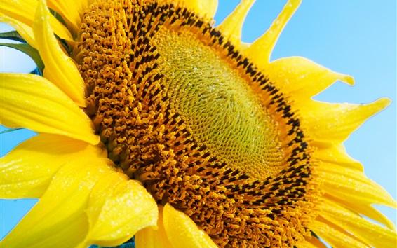 Wallpaper Sunflower close-up, pistil, petals