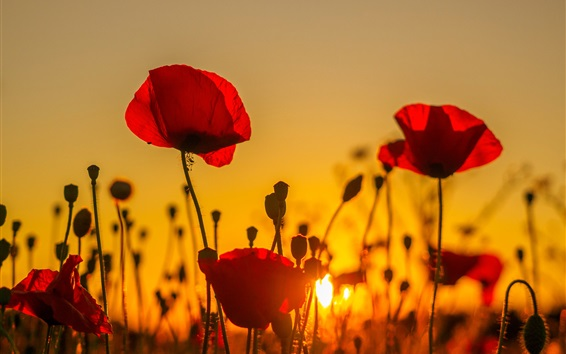 Wallpaper Sunset, poppies field, red flowers