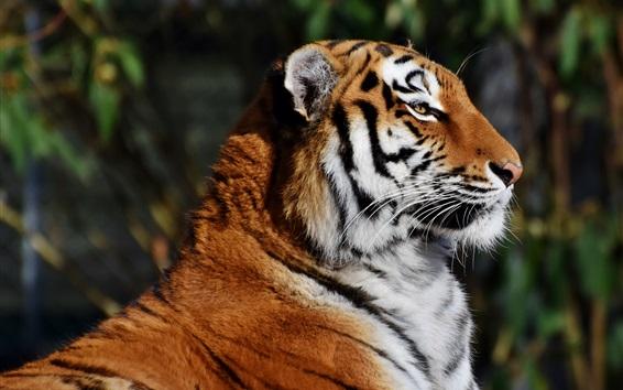 Обои Вид сбоку тигра, лицо, отдых