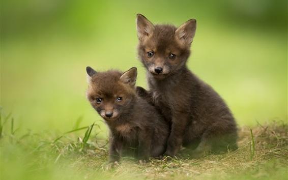 Papéis de Parede Dois, cute, raposa, filhotes