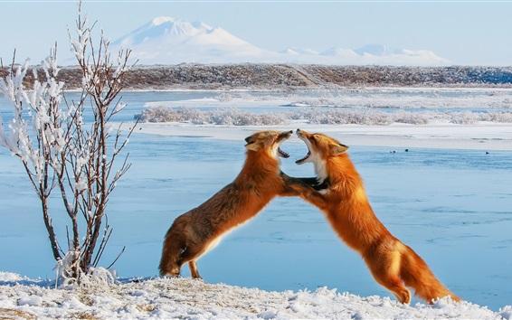 Papéis de Parede Duas raposas brincalhão, inverno, neve, árvores
