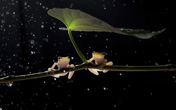 배경 화면 두 개구리, 잎, 물방울, 비
