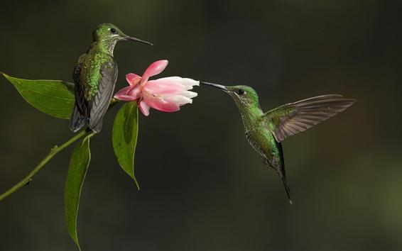 Wallpaper Two hummingbirds, pink flower