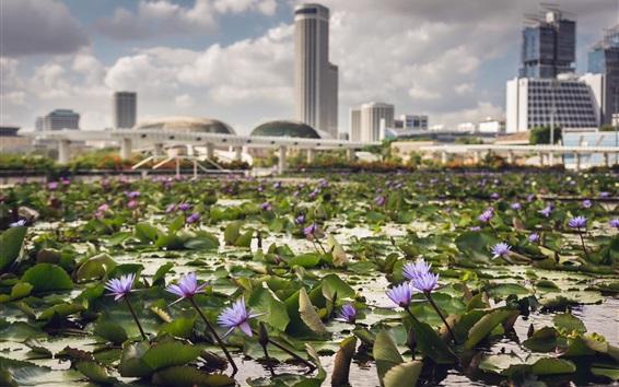 Fondos de pantalla Lirio de agua, flores, estanque, ciudad, Singapur