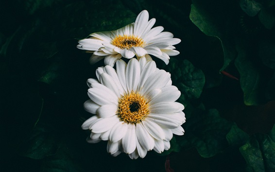 Papéis de Parede Close-up de flores brancas gerbera