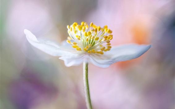 Wallpaper White petals flower macro photography, pistil, bokeh