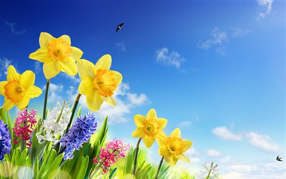 Fond d'écran Jonquilles jaunes, jacinthe, fleurs colorées, hirondelles, ciel bleu, printemps