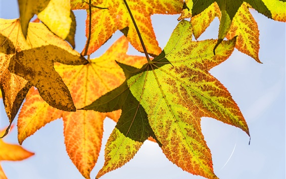 Обои Желтые листья клена, подсветка