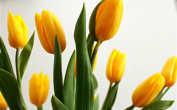 Wallpaper Yellow tulips, water drops, flowers