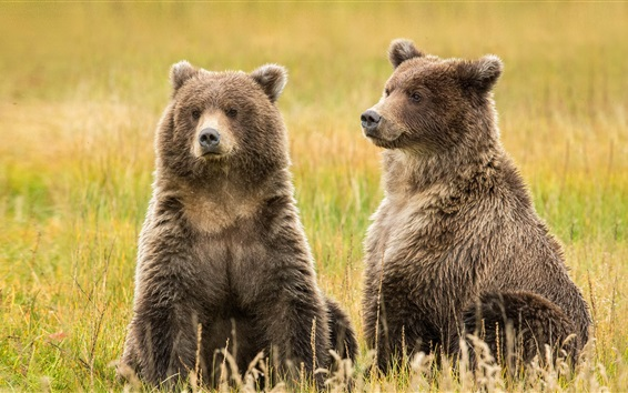 Wallpaper Alaska, Lake Clark, two brown bears in the grass