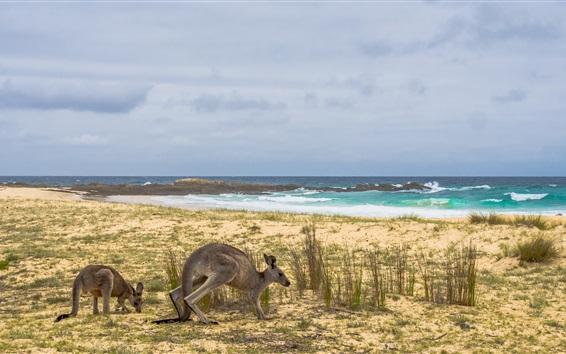 Wallpaper Australia, kangaroo, grass, sea