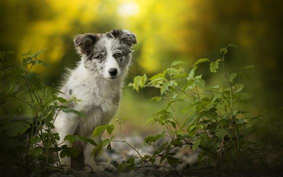 Papéis de Parede Cão pastor australiano, folhas verdes