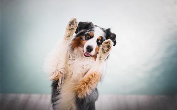 Papéis de Parede Pastor australiano, cachorro, patas