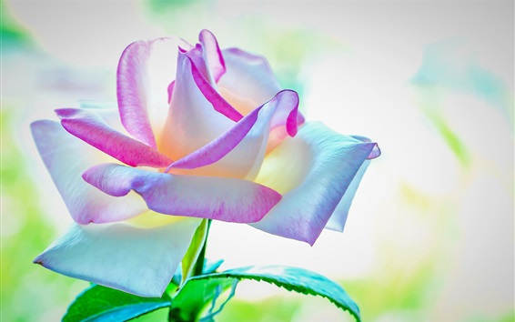 Wallpaper Beautiful rose, colorful petals, pink white blue