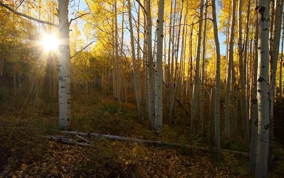 Wallpaper Birch, forest, sun rays