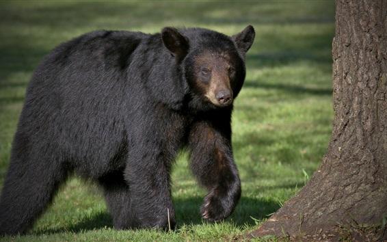 Papéis de Parede Urso-negro, predador, andar
