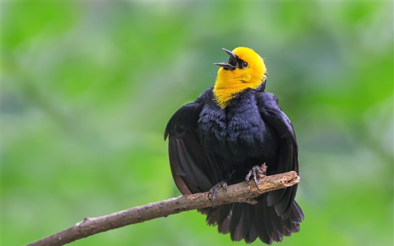 Wallpaper Black feathers bird, beak