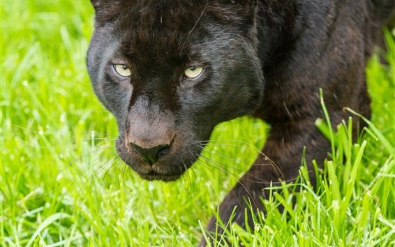 Wallpaper Black panther, face, grass