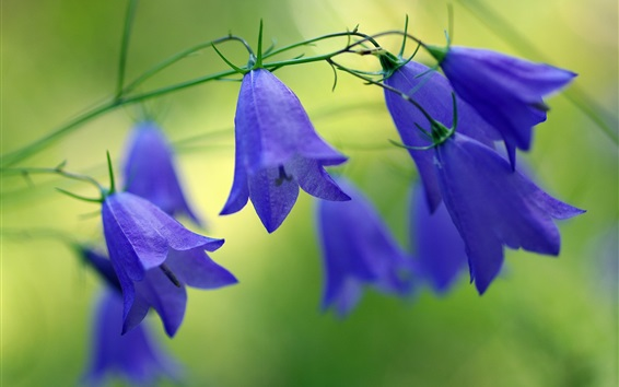 Papéis de Parede Sinos azuis flores, flores silvestres